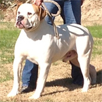 Johnson American Bulldogs - Elrod The Red